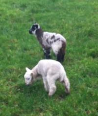 Lambs 002